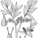 Image of grayleaf willow
