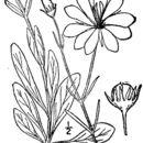 Image of marsh rose gentian