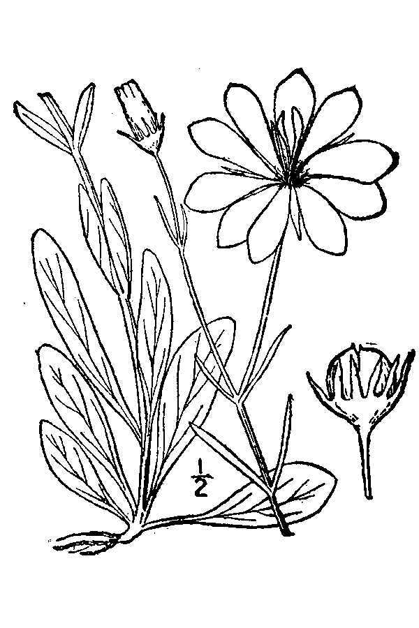 Image of marsh rose gentian