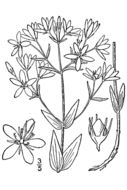 Image of lanceleaf rose gentian