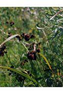 Image of green bulrush