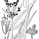 Image of leafy bulrush