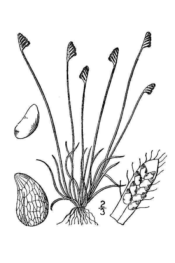 Image of little curlygrass fern