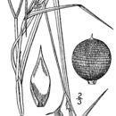 Image of Netted Nutrush