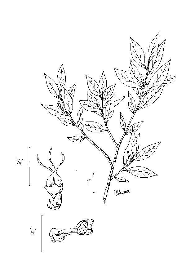 Sivun <i>Ditrysinia fruticosa</i> (W. Bartram) Govaerts & Frodin kuva