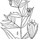 صورة <i>Silene latifolia</i> ssp. <i>alba</i> (Miller) Greuter & Burdet