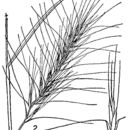 Image of Wildrye or Wheatgrass