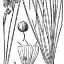 Image of needletip blue-eyed grass