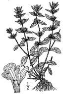 Image of simplebeak ironwort