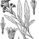 Image of Rand's goldenrod