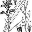 Image of bog goldenrod