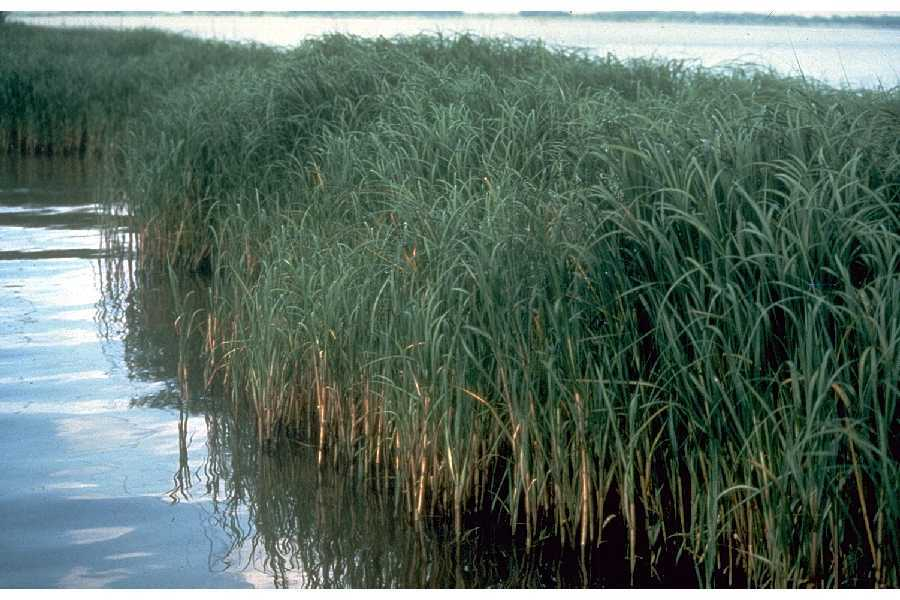 Image of Atlantic Cordgrass