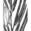 Image of big cordgrass