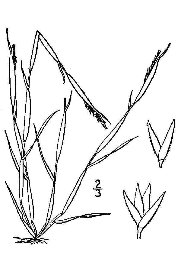 Image of puffsheath dropseed