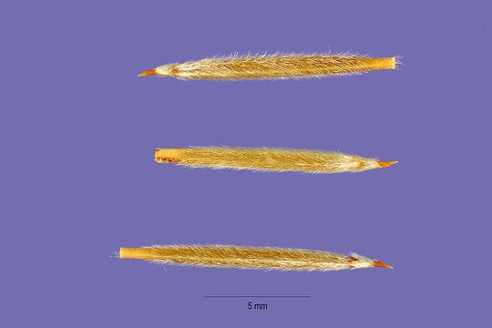 Image of needlegrass