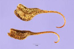 Image of shrubby pencilflower