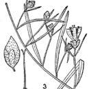Image of Pickering's dawnflower