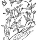Image of trailing yellow loosestrife