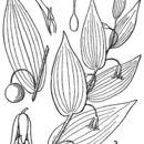 صورة <i>Streptopus lanceolatus</i> (Aiton) Reveal var. <i>roseus</i> (Michx.) Reveal