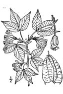 Image of American bladdernut