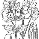 Image of Guyandotte beauty