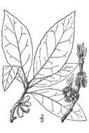 Image of common sweetleaf