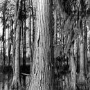 Image of pond cypress