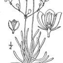 صورة <i>Phemeranthus teretifolius</i> Raf.