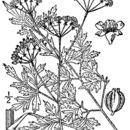 صورة <i>Thaspium pinnatifidum</i> (Buckl.) A. Gray
