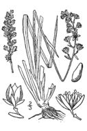 Image of Scottish Asphodel