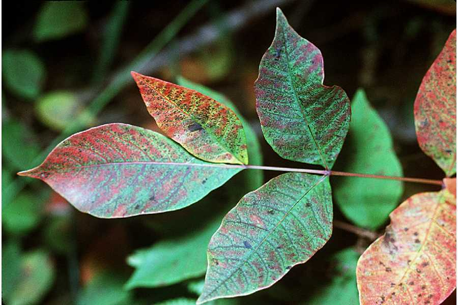 Image of poison sumac