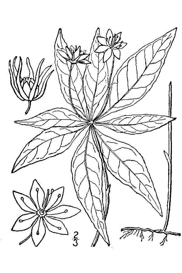 صورة <i>Trientalis <i>borealis</i></i> Raf. ssp. borealis