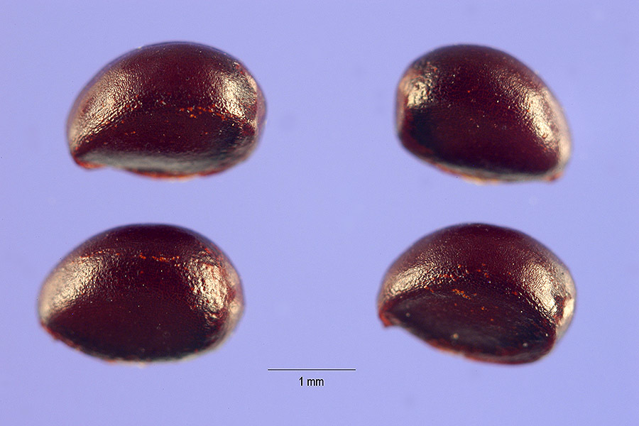 Image of diamond burbark