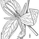 Image of wood wakerobin