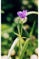 Image of Virginia spiderwort