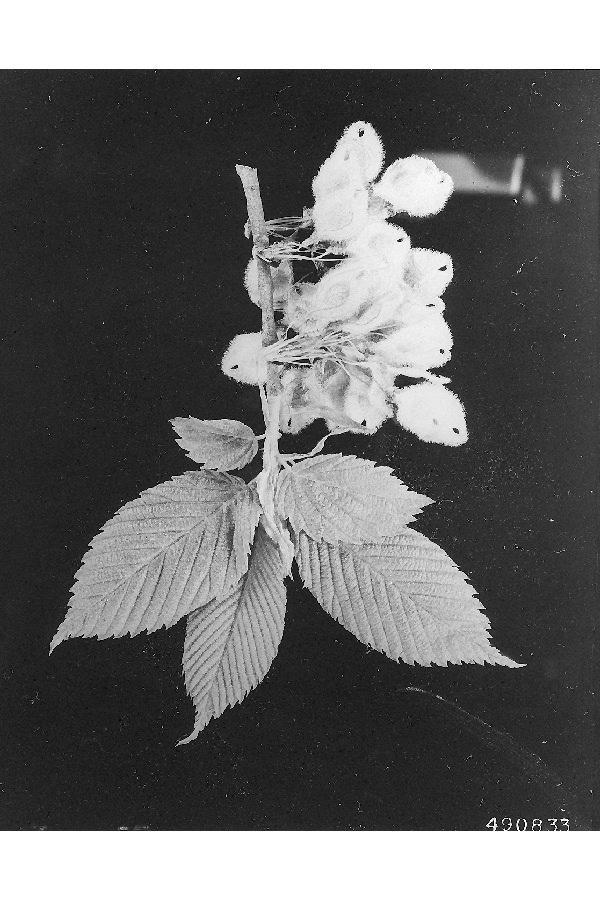 Image of <i>Ulmus americana</i> L.