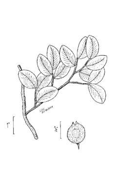 Image of cedar elm