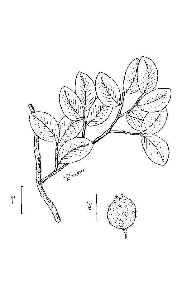 Image of <i>Ulmus crassifolia</i> Nutt.