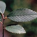 Image of Siberian elm