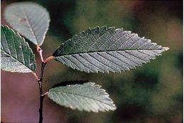 Image of <i>Ulmus pumila</i> L.