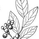 Image of New Jersey blueberry