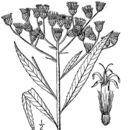 Image of giant ironweed