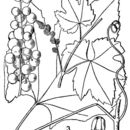 Image of summer grape