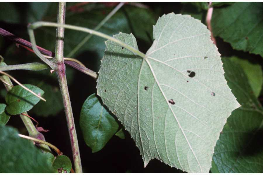 Image of graybark grape