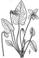 Image of arrowleaf violet