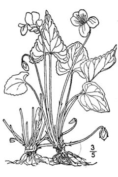Image of Missouri violet