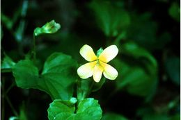 Image of downy yellow violet