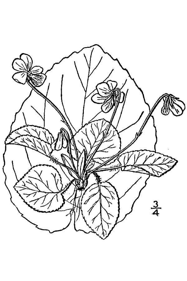 Image of roundleaf yellow violet