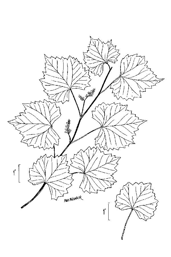 Image of muscadine