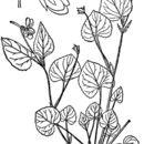 صورة <i>Viola rostrata</i> Pursh